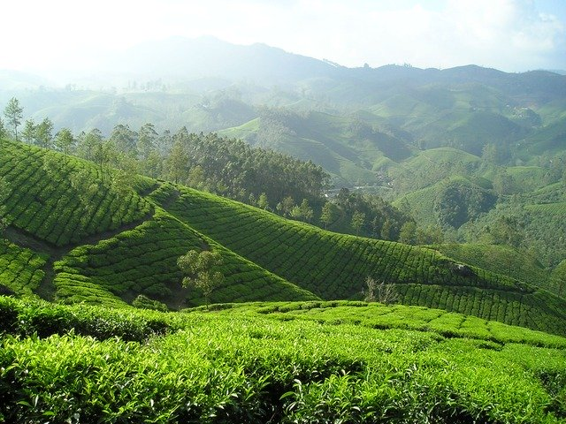 Best green tea brands in India ( Green Tea Benefits)